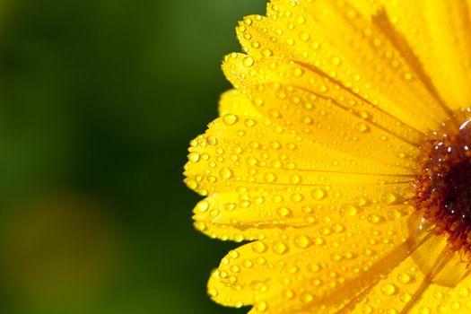 yellow gerber petals