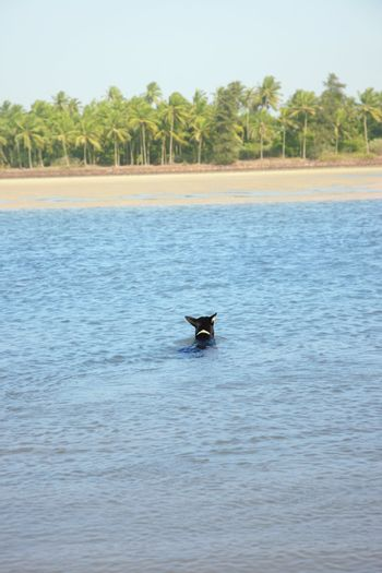 Rear view on the black dog swimming in the water. Palms on background. Goa, India