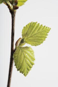Birch in springtime