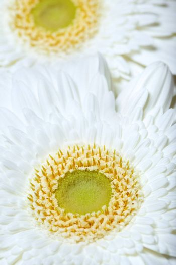 Close-up photo of the white chrysanthemum in the garden. Natural light and colors