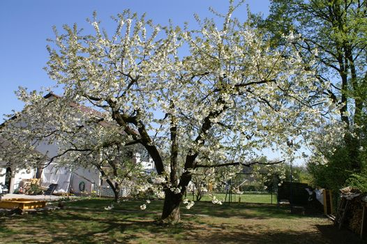trees bloom in spring in fine weather
