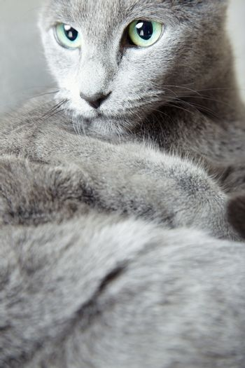 Russian blue looking aside. Vertical photo with natural colors