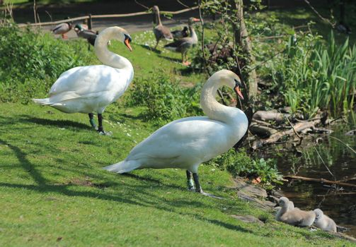 Couple of swans with little cygnets in a little birds sanctuary in Edinburgh, Scotland