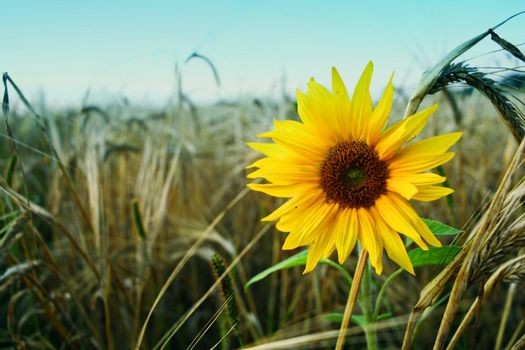 Solitute sunflower