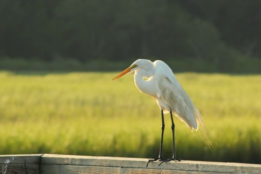 A White Heron Standing on a Railing