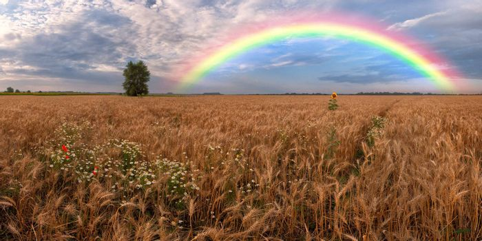 Panorama of a big summer field on morning with clouds in the sky on background