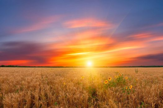 Beautiful landscape a summer wheat field with majestic sunset and sunflower