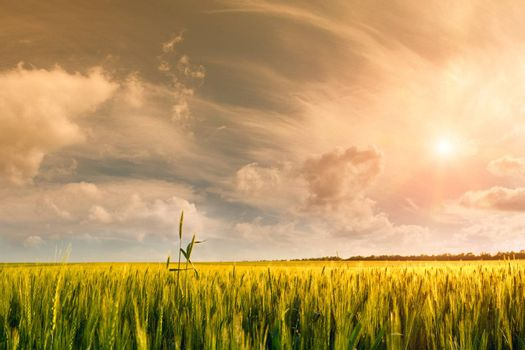 Beautiful landscape a summer wheat field with majestic clouds and sun in the sky on background