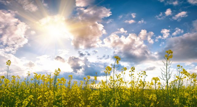 Summer field with flower and sunlight in blue sky
