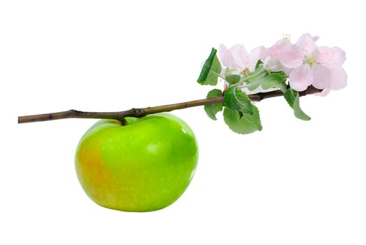 Green apple on branch with blossom flower isolated on white background