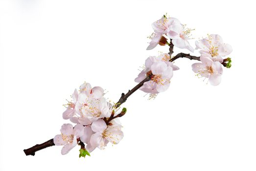 Branch with flowers of an apricot isolated on white background