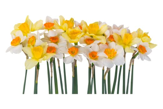 Many beautyful of yellow and white narcissus isolated on a white background