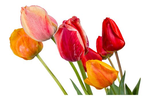 Red, pink and orange tulips isolated on white background