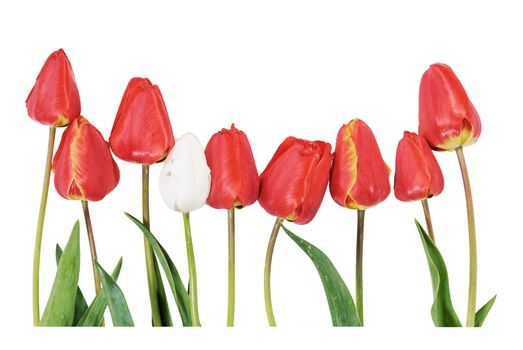 Red and white tulips isolated on white background