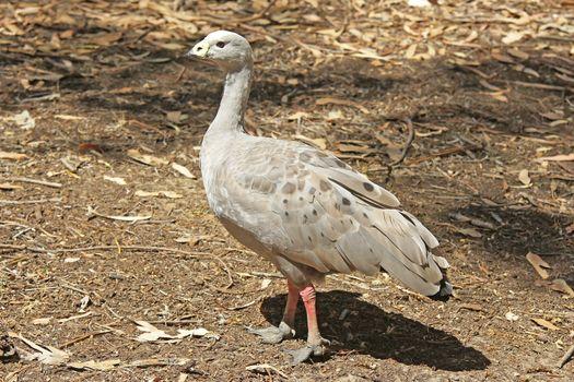 Cape Barren Goose, Australia