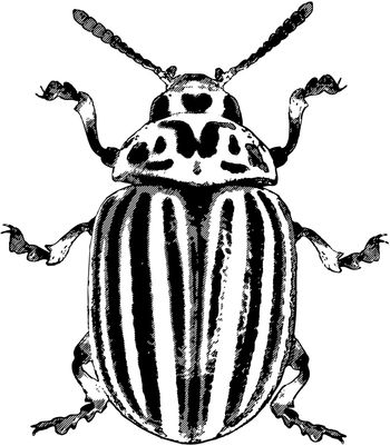 Colorado potato beetle - rough vector illustration