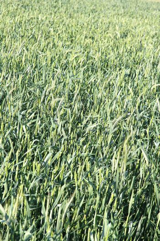 Closeup of a green Wheat Field.