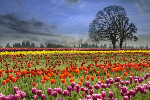 Colorful Tulip Flowers Blooming in Tulips Field at Spring Season One Foggy Morning