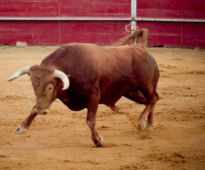 Brave and dangerous brown bull in the bullring