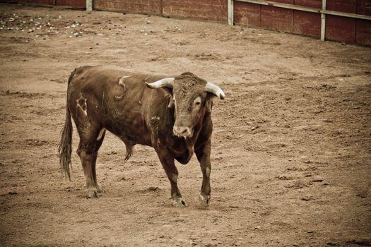 Spanish and Dangerous bull in the bullring