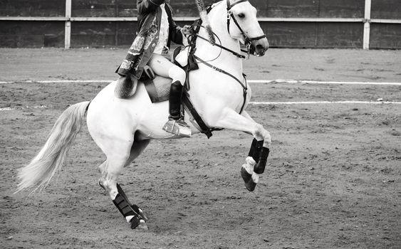 Beautiful white horse in bullring, bullfight in Spain, black and
