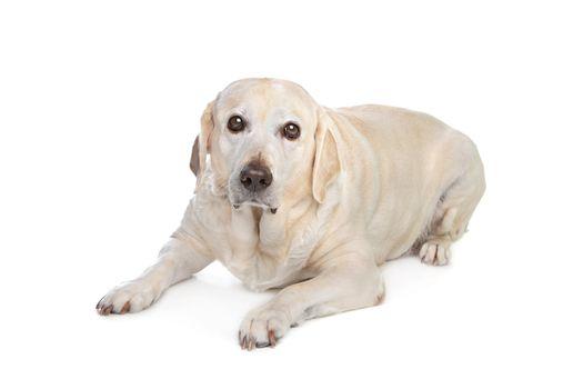 scared labrador dog