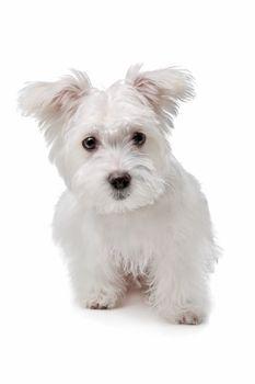 mix Maltese dog