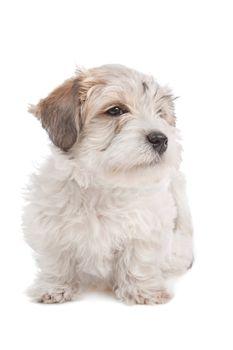 mix Maltese Puppy dog