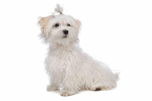 white maltese dog