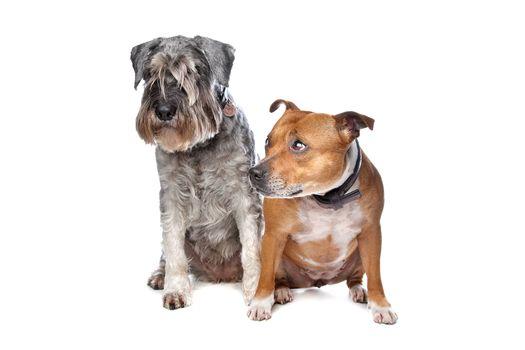 Stafford and a Schnauzer dog