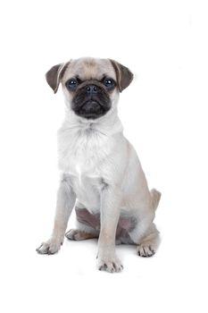 Pug isolated on white