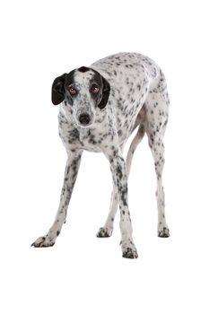 white Greyhound dog with black spots