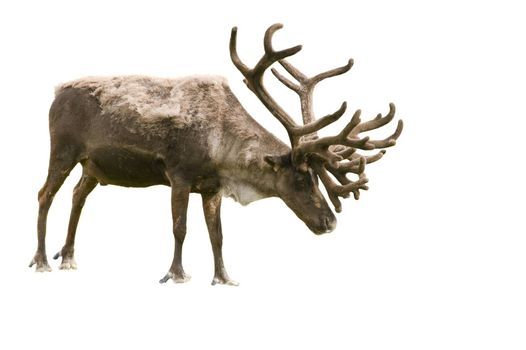 Isolation of a caribou