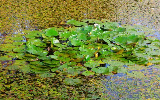 lake / pond with lotuslake / pond with lotus