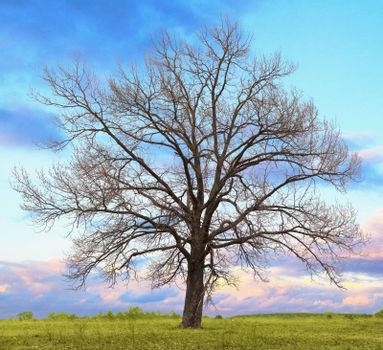 A lone oak tree without leaves in the field