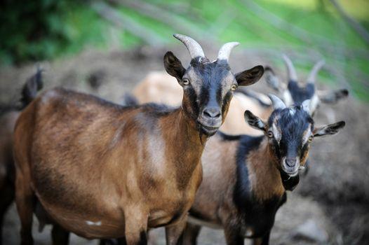 curious goats facing the camera