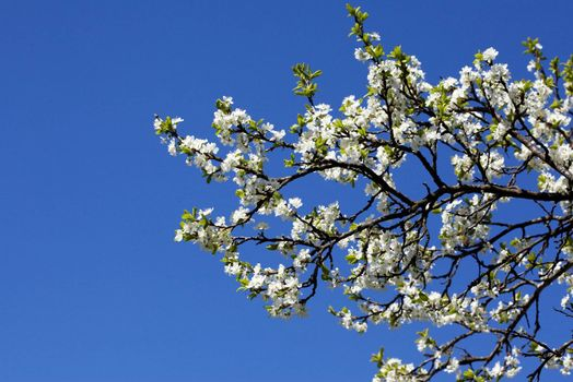 Blooming garden trees over a blue sky background
