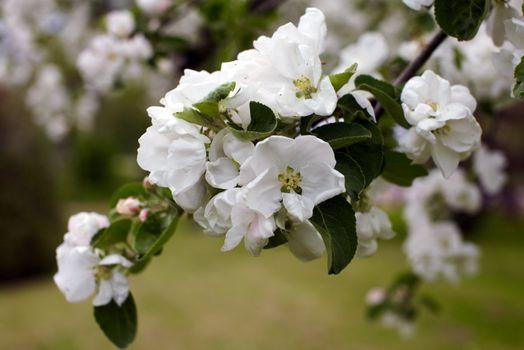 Blossom apple tree. Apple flowers close-up.