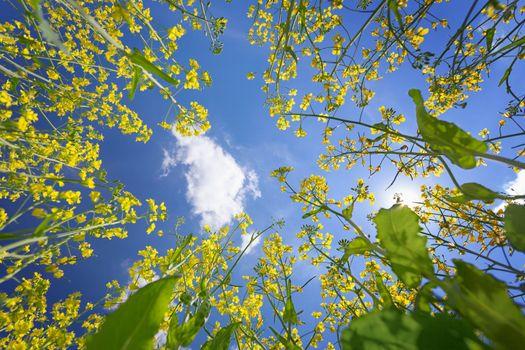 The blue sky framed by flowering yellow oilseed rape