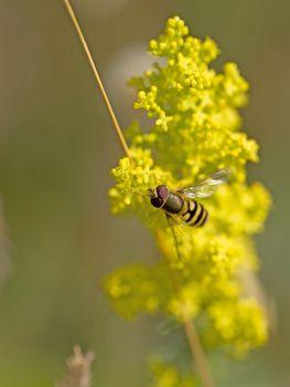 Bee on Rapeseed