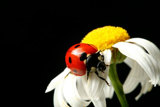 summer ladybug on white camomile