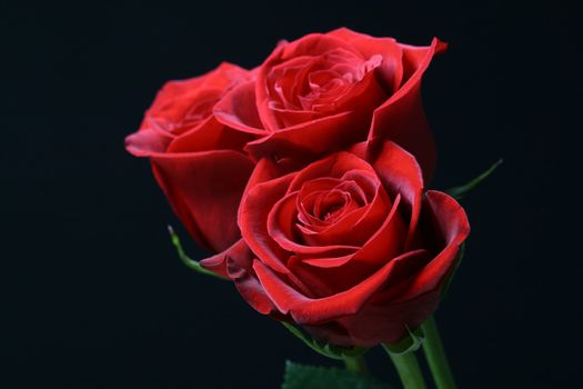 red roses on the black romantic and beautiful