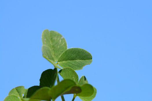 blue sky clover
