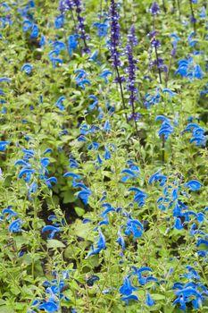 Background from beautiful dark blue flowers