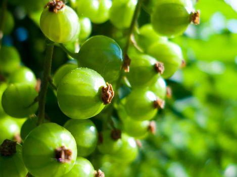 green currant
