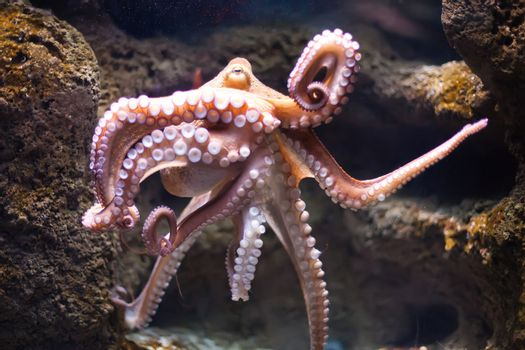 ethereal octopus from the depth (Octopus vulgaris)