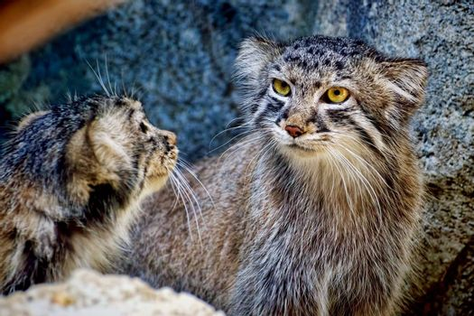 Pallas's Cat kittens