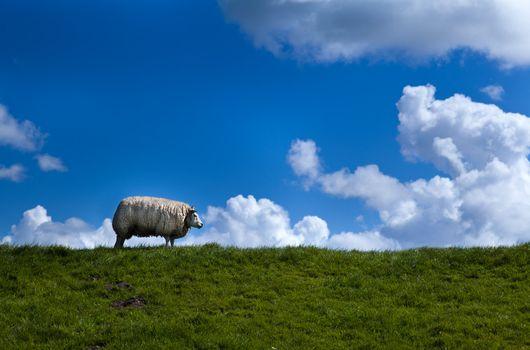 sheep on horizon