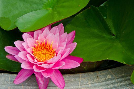 Close-up Big Pink Lotus