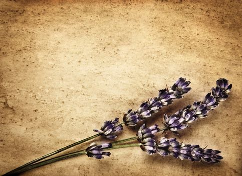 Lavender flowers isolated on brown abstract backdrop